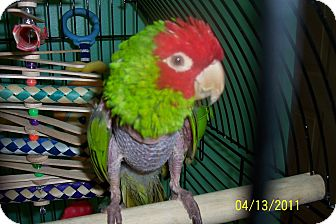 Conure for adoption in Lexington, Georgia - Ciesta