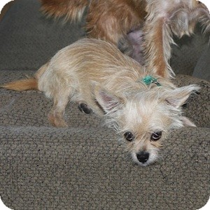 Cairn Terrier Mix Dog for adoption in Phoenix, Arizona - Triscuit
