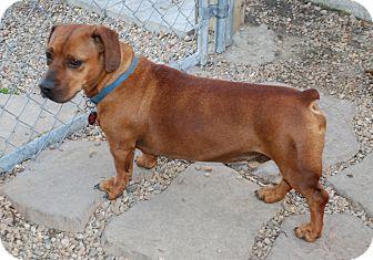 Dachshund/Labrador Retriever Mix Dog for adoption in Virginia Beach, Virginia - Milo