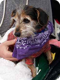 Dachshund/Yorkie, Yorkshire Terrier Mix Dog for adoption in San Angelo, Texas - Hercules
