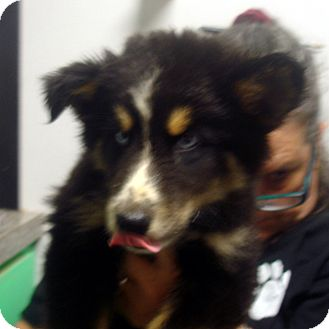 Husky/Collie Mix Puppy for adoption in baltimore, Maryland - Daytona