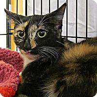 Adopt A Pet :: Eclipse - Seminole, FL