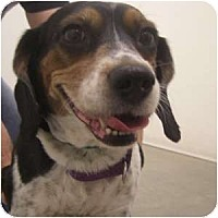Adopt A Pet :: Violet - Phoenix, AZ
