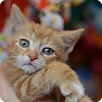 Adopt A Pet :: Butterscotch - Brooklyn, NY