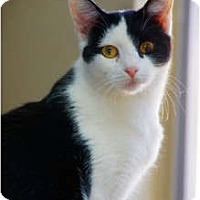 Adopt A Pet :: Domino - Scottsdale, AZ