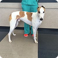 Adopt A Pet :: Boomer - Tampa, FL