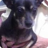 Chihuahua/Miniature Pinscher Mix Dog for adoption in Chicago, Illinois - Jordan