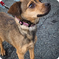 Adopt A Pet :: Brownie - Loudonville, NY