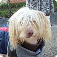 Adopt A Pet :: Bonya - Brooklyn, NY