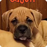 Adopt A Pet :: Cajun - Plainfield, IL