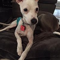 Adopt A Pet :: Lou - Richardson, TX