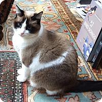 Adopt A Pet :: Colette - Novato, CA