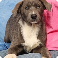 Adopt A Pet :: Saphire Shepherd - St. Louis, MO