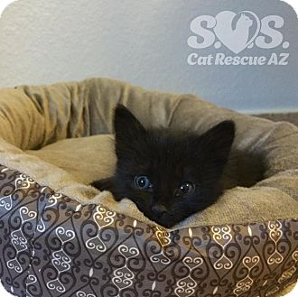 Domestic Shorthair Kitten for adoption in Tucson, Arizona - Mystique