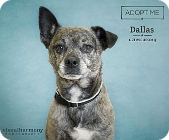 Boston Terrier Mix Dog for adoption in Phoenix, Arizona - Dallas