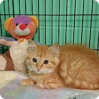 Domestic Mediumhair Kitten for adoption in Smithtown, New York - LUCY