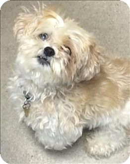 Shih Tzu Mix Dog for adoption in Madison, New Jersey - Brandy