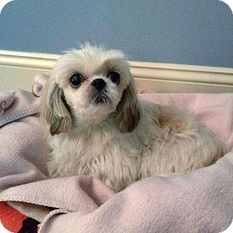 Shih Tzu Dog for adoption in Arlington, Virginia - Annie