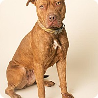 American Pit Bull Terrier Mix Dog for adoption in Roanoke, Virginia - REBA