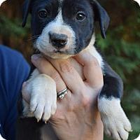 Adopt A Pet :: Axl - Bayshore, NY