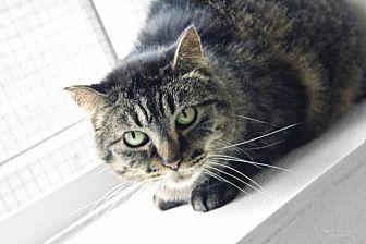 Domestic Shorthair Cat for adoption in Williamsburg, Iowa - PK