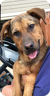 Shepherd (Unknown Type) Mix Dog for adoption in Portland, Maine - Tierney (Cat Friendly)