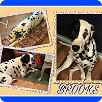 Adopt A Pet :: Brooks - Fort Collins, CO