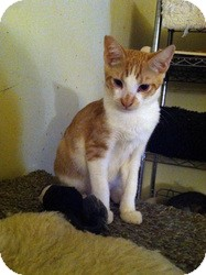 Domestic Shorthair Kitten for adoption in Mission Viejo, California - Charlie