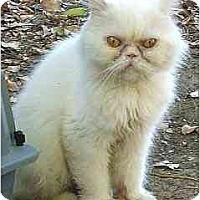 Adopt A Pet :: Snow Bell - Davis, CA
