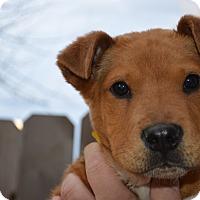 Adopt A Pet :: Hank - Westminster, CO