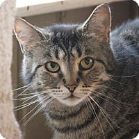 Domestic Shorthair Cat for adoption in Verdun, Quebec - Mitsou