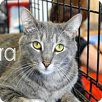 American Shorthair Cat for adoption in Wichita Falls, Texas - Ezra