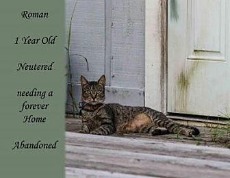 Domestic Shorthair Cat for adoption in Sebastian, Florida - Roman
