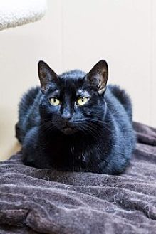 Domestic Shorthair Cat for adoption in Baton Rouge, Louisiana - Shelley