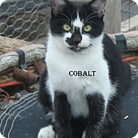 Adopt A Pet :: Cobalt - corinne, UT