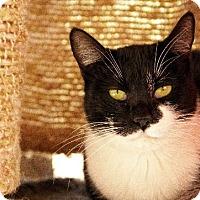 Domestic Shorthair Cat for adoption in Tucson, Arizona - Chevy