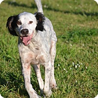 English Setter Mix Dog for adoption in Sheridan, Oregon - Jaeger