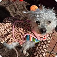 Adopt A Pet :: Gabby Barkley - Houston, TX