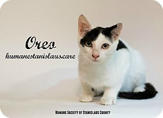 Domestic Shorthair Kitten for adoption in Modesto, California - Oreo