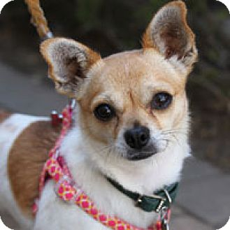 Chihuahua Mix Dog for adoption in Pacific Grove, California - Tulip