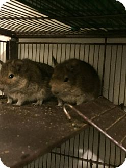 Degu for adoption in Flint, Michigan - 3 Males
