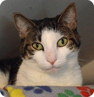 Domestic Shorthair Cat for adoption in Middletown, New York - Sassie