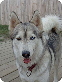 Siberian Husky Dog for adoption in Raleigh, North Carolina - Aries