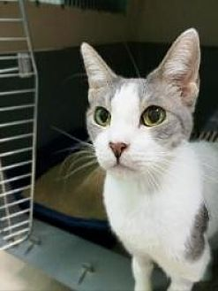 American Shorthair Cat for adoption in Odessa, Florida - Bella