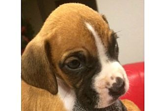 Boxer Puppy for adoption in Hurst, Texas - Sleigh
