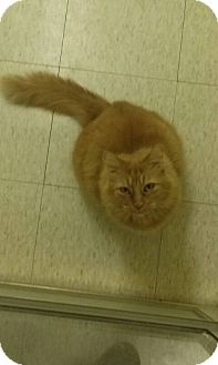 Maine Coon Cat for adoption in Northfield, Ohio - Thor