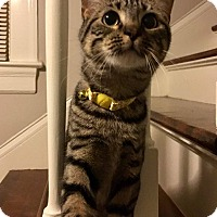 Adopt A Pet :: Piper - Mebane, NC