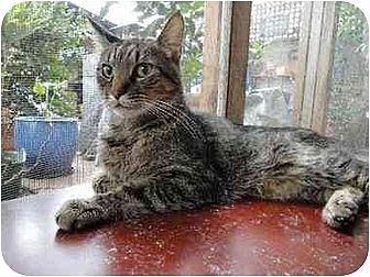 Domestic Shorthair Cat for adoption in Toluca Lake, California - Harvey