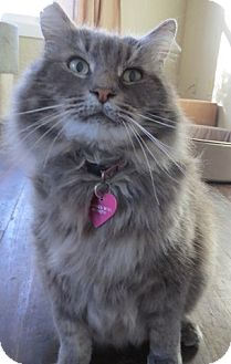 Maine Coon Cat for adoption in Davis, California - Prince
