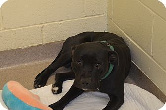 American Pit Bull Terrier Mix Dog for adoption in New Cumberland, West Virginia - Elliot